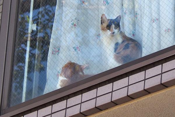 家猫さん 茶白と三毛さん3