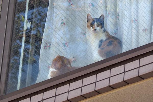 家猫さん 茶白と三毛さんラスト