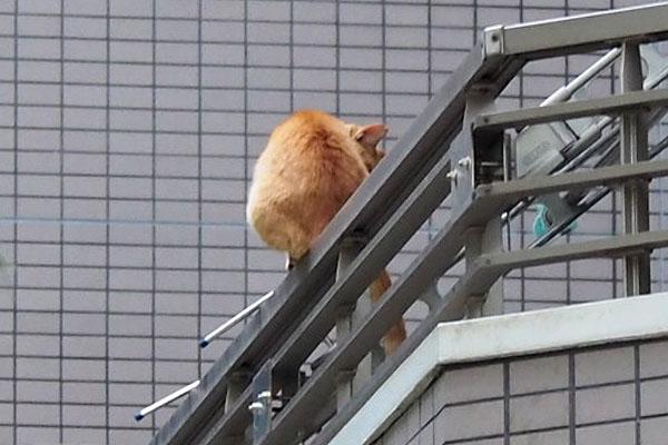 gingercat back