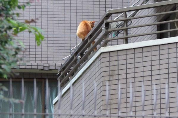 ママ猫 2階フェンス上