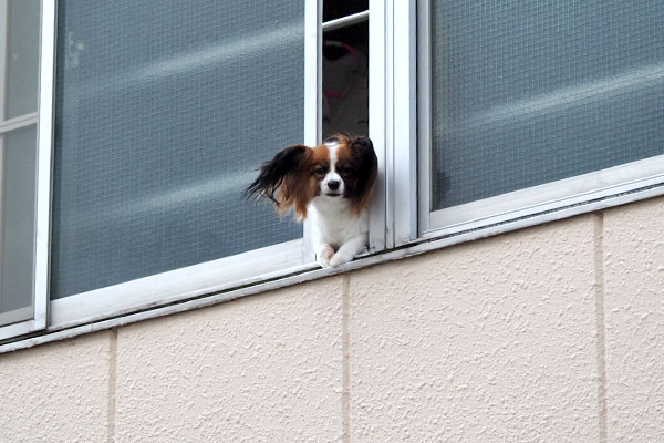papillon at the window windyday