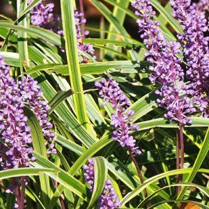 flower purple yaburan