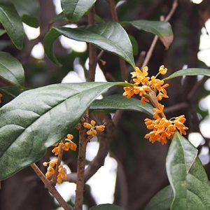 flower orange kinmokusei