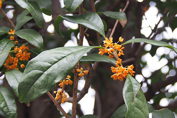 flower orange kinmokusei
