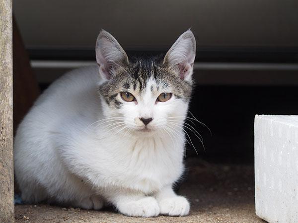 tabby white kitten