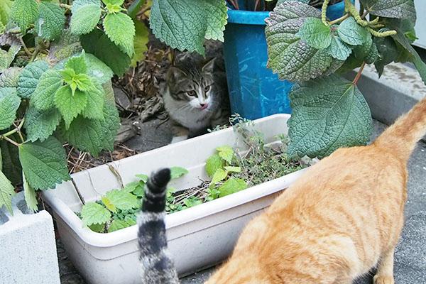仔猫 キジ白ちゃん