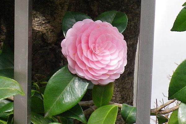 flower pink camellia
