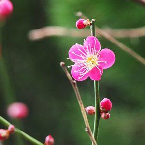 flower pink ume