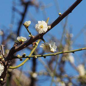 sakura and blue sky
