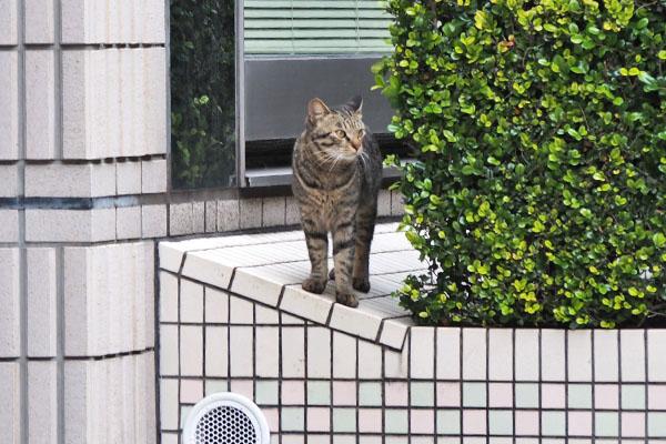 シマヲ 垣根から観察