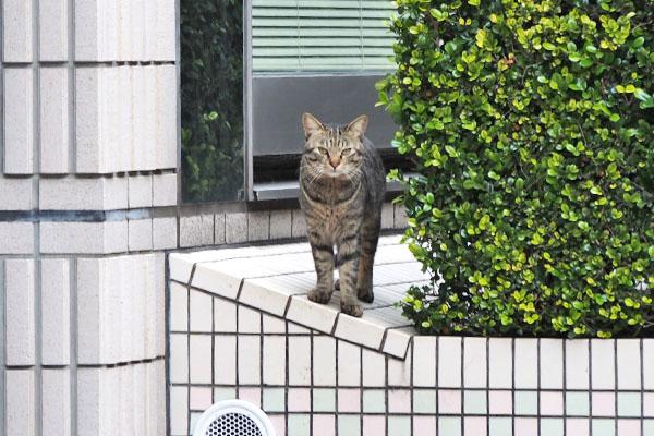 シマヲ 垣根からこっち見る