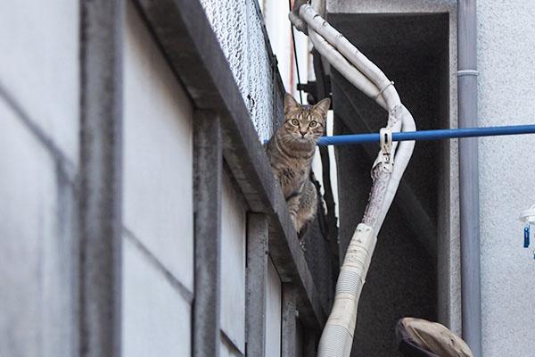 らい太 塀の上でキョトン