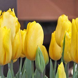 flower tulips yellow