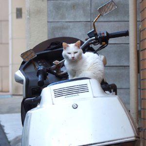 white cat on the bike