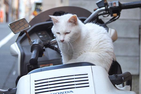 白猫さん 伏し目がち