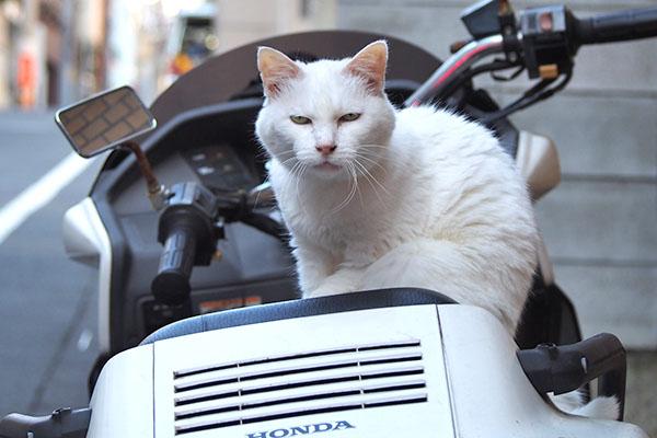 白猫さん 鳴いてた