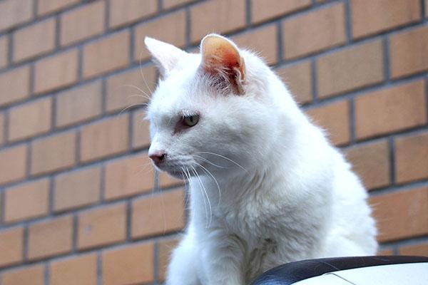 白猫さん 左見て