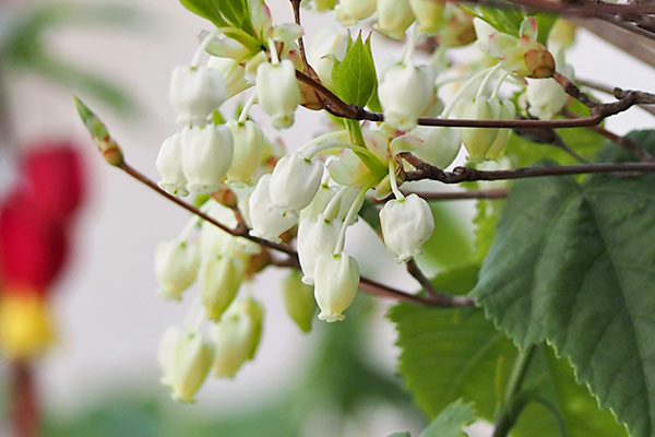 doudan tutsuji azarea flower white