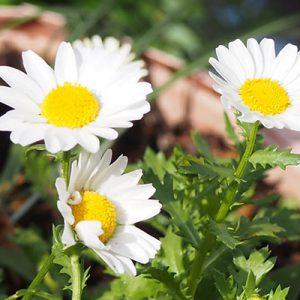 flower white daisy