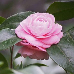 flower camellia pink