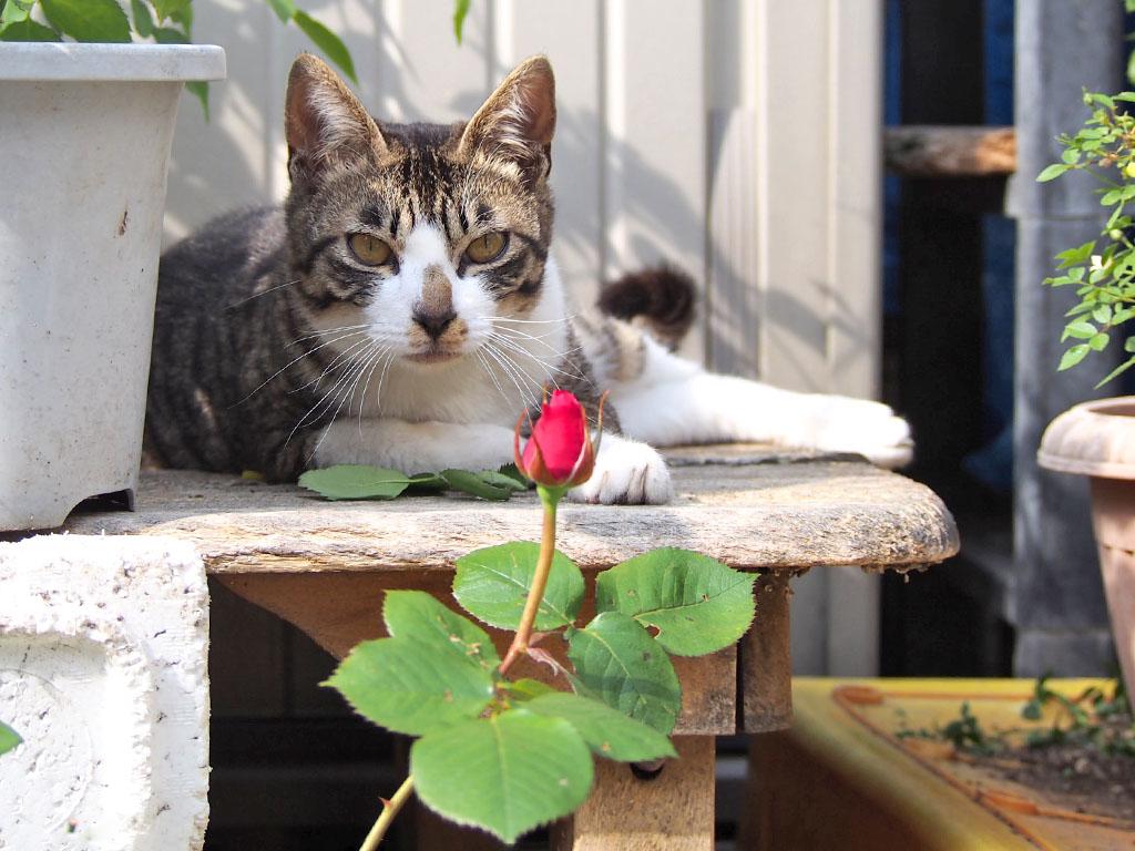 ホットと薔薇の蕾