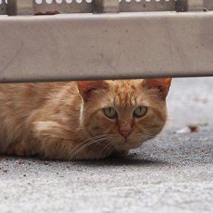 ginger cat stare