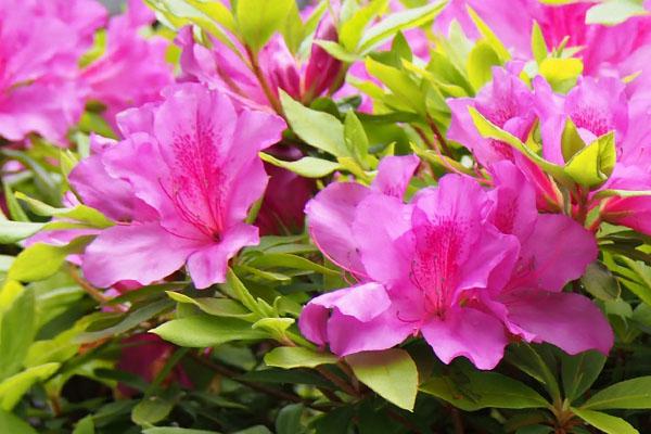 flower azalea pink