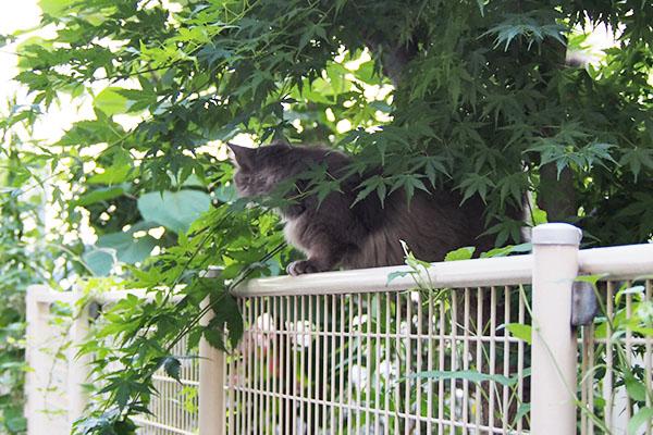 mafu on the fence