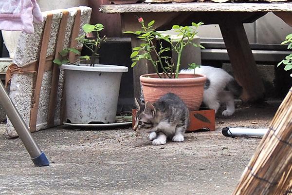 kittens sakura children