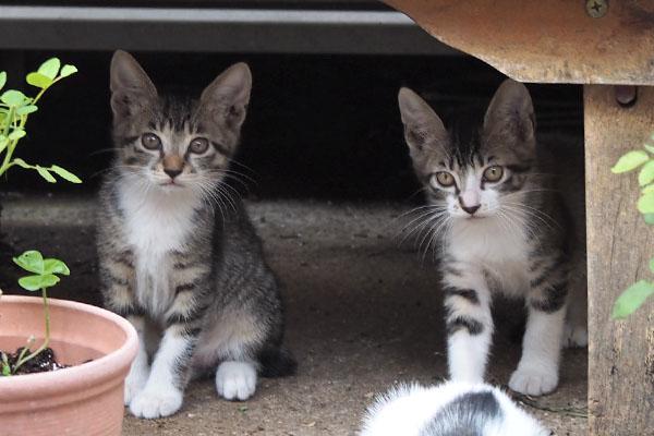 仔猫 背後のそっくり兄弟2