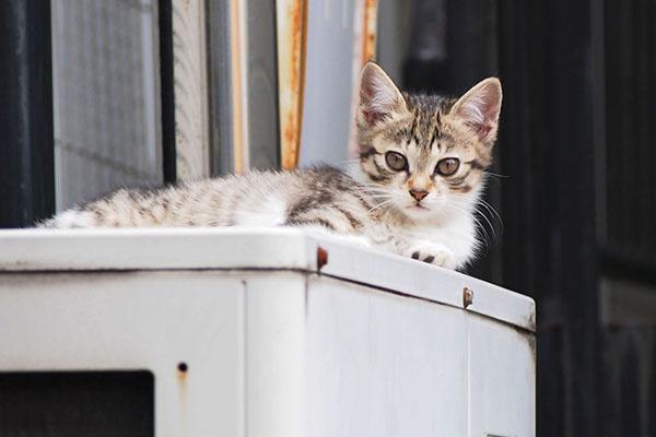 ひとり残ったキジ白仔猫
