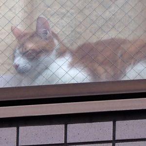 household cat orangecat