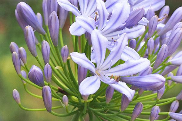 flower purple agapanthus