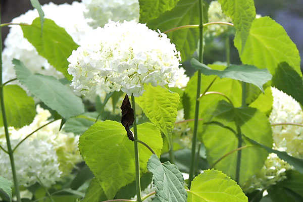 flower white hydrangea and pupa