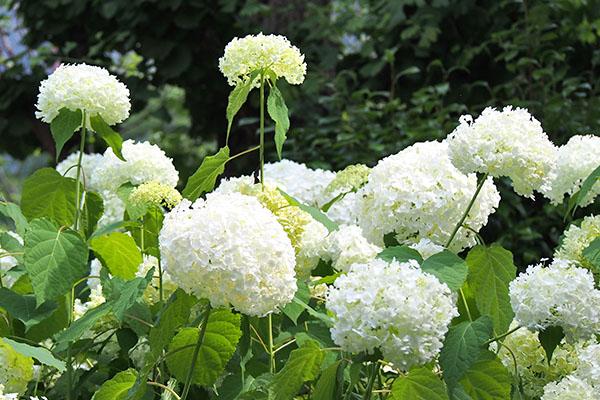 flower white hydrangea