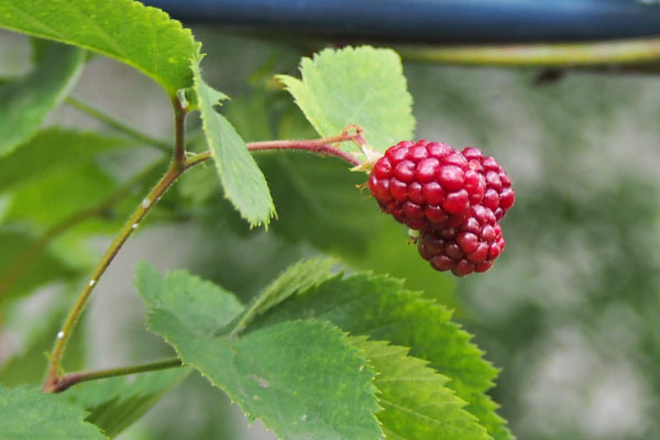 berry red flower fruits