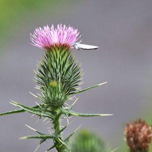 flower pink azami