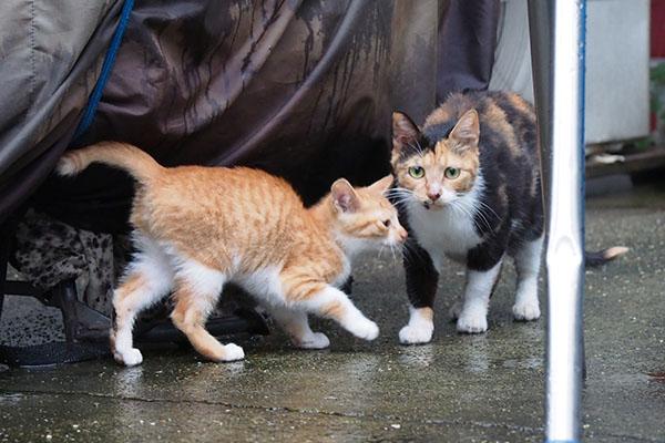 ミクと茶白仔猫