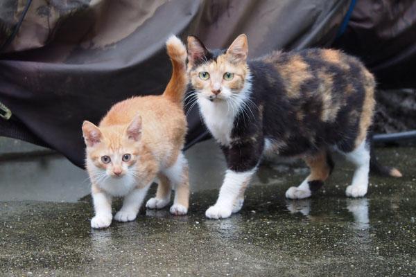 ミクと茶白仔猫 カメラ目線