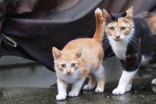 orange kitten with mama