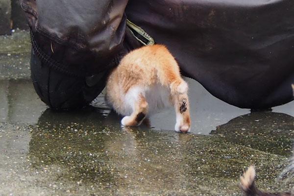 茶白仔猫 足の裏