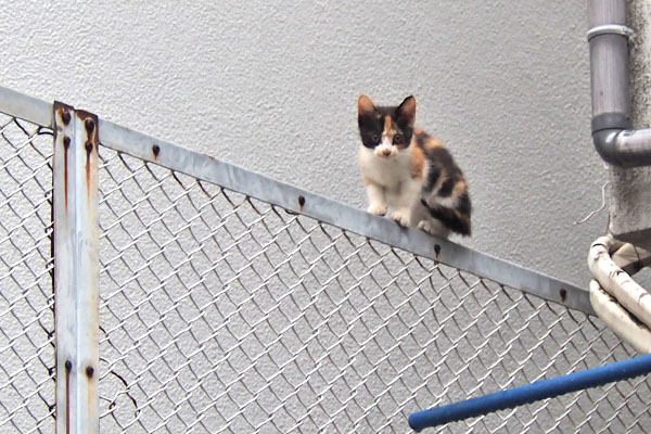 kitten calico on the fence