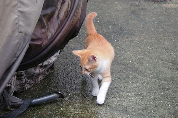 茶白仔猫 楽しそうに