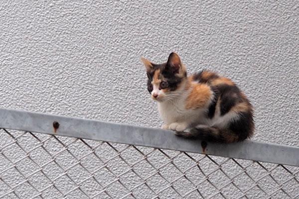 三毛仔猫 茶白仔猫をずっと見る