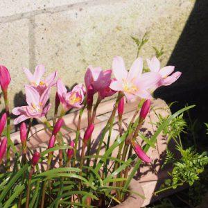 flower pink in a pot