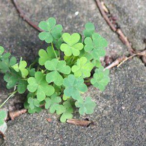 clover flower green