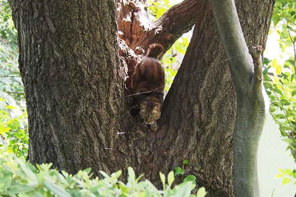 木の間から下りてくるクラタン