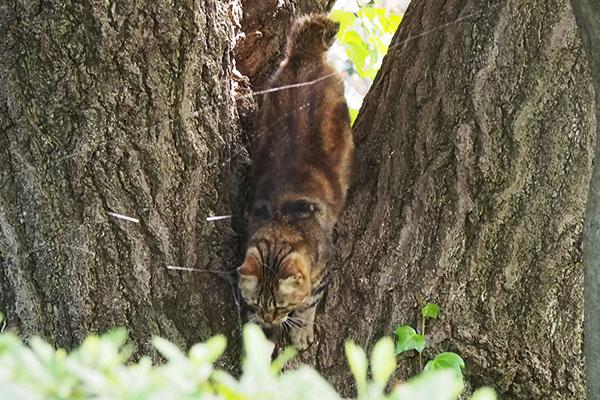 木の間から下りてくるクラタン2