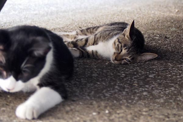 ソックス 兄猫の後ろで寝てる