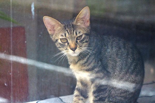 kitten tabbycat